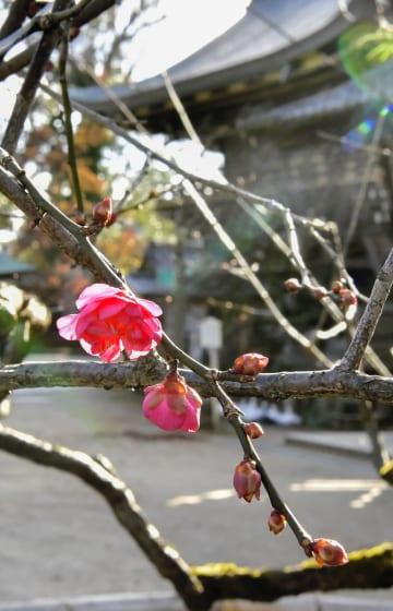 北野天満宮で開花した早咲きの梅=13日午前、京都市