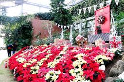 赤や白の鮮やかなポインセチアがクリスマスムードを演出する=淡路ファームパーク・イングランドの丘