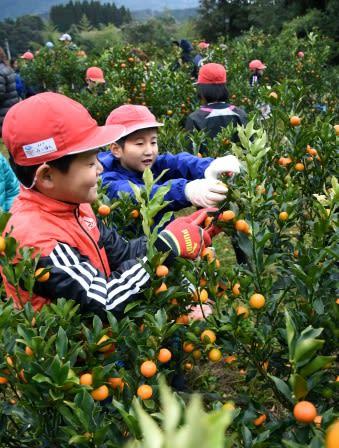 キンカンを夢中になって収穫する加世田小学校4年生=南さつま市加世田津貫