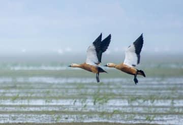 湿地が渡り鳥の楽園に 江西省鄱陽湖