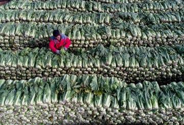 野菜栽培で農村振興を後押し 河北省楽亭県