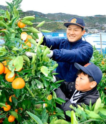 愛媛MPの選手とミカン狩りをする野球少年