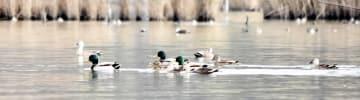 三方湖には多くの野鳥が集まる=12月11日、福井県若狭町鳥浜