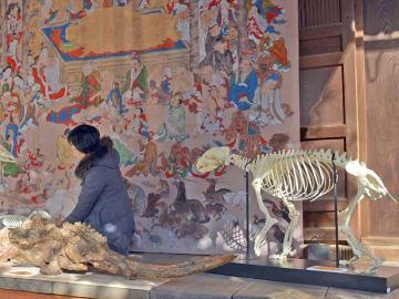 本堂入り口の涅槃図前に置かれた動物の骨格標本や化石(京都市下京区・龍岸寺)