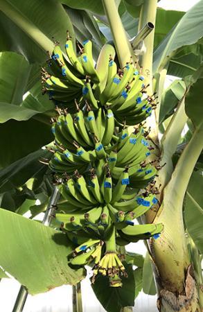 温泉熱で育む雪国バナナ、来春デビューへ JAおいしいもがみ、戸沢で無農薬栽培