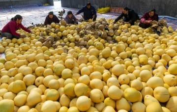 柚子の収穫シーズンが到来 湖北省秭帰県