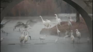 黄河最大の河辺湿地を舞う千羽の渡り鳥 陝西省合陽県