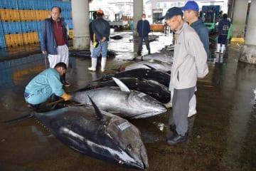 クロマグロが27匹水揚げされ、活気付く勝浦漁港=4月3日、勝浦市