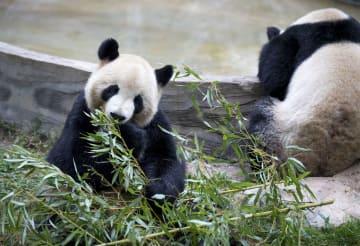 雲南野生動物園のパンダ、食欲の冬を満喫