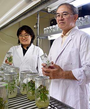 紅イモバイオ苗生産 ナンポーが契約農家に無償配布 品質優れ、所得増促す