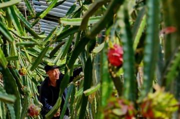ハウス栽培で冬の農閑期が繁忙期に 河北省唐山市