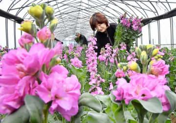 ピンクのかれんな花を咲かせ、出荷が本格化しているストック=12月18日、福井県あわら市