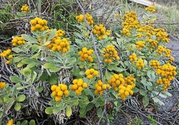 【道路沿いで黄色い花を咲かせたキノクニシオギク(和歌山県白浜町で)】