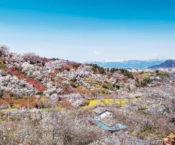 「桃源郷」とも称される花見山。他の花観光スポットとの連携が課題だった(福島市提供)