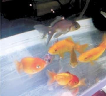 給餌の際は、金魚がしっかり食べているか確認を