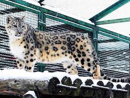 繁殖目的で王子動物園に来園したユキヒョウの雄(同動物園提供)