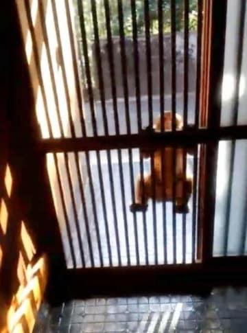 玄関の格子に飛び付き、激しく揺さぶって威嚇するニホンザル=25日午後、宮崎市下北方町(住民提供)