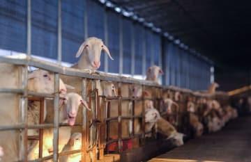 湖羊の飼育で貧困者支援を後押し 浙江省長興県