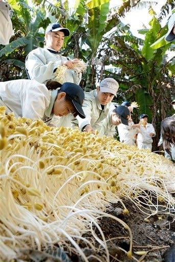 長さ30~40センチに育った水前寺もやしを収穫する熊本農高の生徒=熊本市中央区