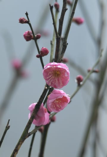 梅の花に華やぐ冬 湖北省恩施