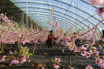 真冬に咲く桃の花 河北省承徳市