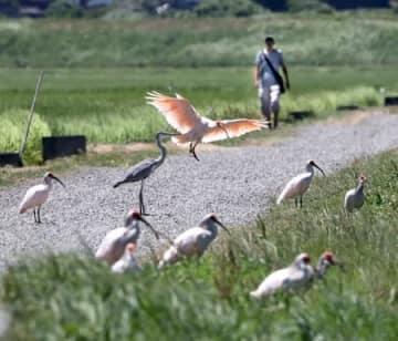 あぜ道に飛来したトキ。10年にわたる放鳥と野生下での繁殖で、佐渡では日常的に見られるようになった=8月、佐渡市
