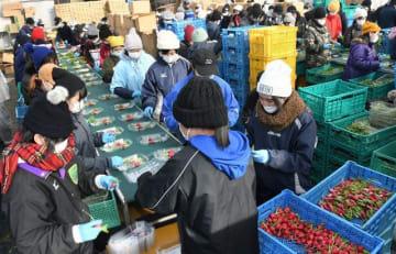 七草の出荷作業に精を出すアルバイトの学生ら=横須賀市津久井