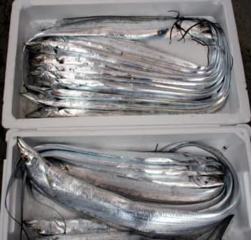 引き縄漁で釣れたタチウオ。この日の漁獲は2箱どまりだった(11月12日、尾道市因島洲江町の角さん方)