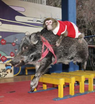 雌の子猿「さん」を背中に乗せてハードルを跳ぶ芸の練習をする雄イノシシ「ちゅら」=石岡市の東筑波ユートピア