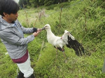 防鳥獣ネットに絡まり傷ついたコウノトリ(兵庫県立コウノトリの郷公園提供)