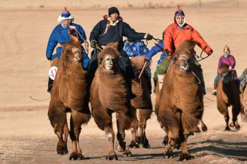 迫力満点 冬のラクダレース開催 内モンゴル自治区