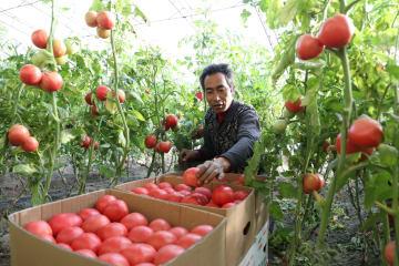 施設農業で冬の農閑期を農繁期に 河北省唐山市