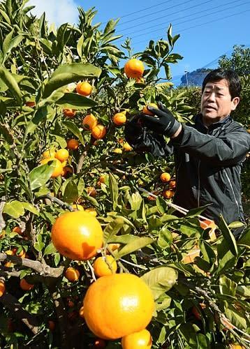 【年明けの「木熟みかん」として出荷するため早生温州ミカンを収穫する農家(9日、和歌山県田辺市芳養町で)】