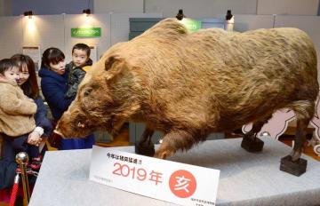 イノシシの剥製を眺める親子連れ=福井県福井市自然史博物館