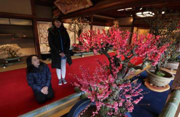 紅白の花びらをほころばせた梅が並ぶ会場(9日午後2時5分、長浜市港町・慶雲館)=撮影・山本陽平