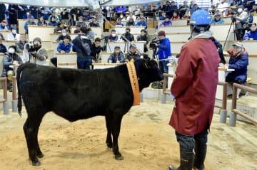 期待を背負って市場に出された「幸花久」の子牛