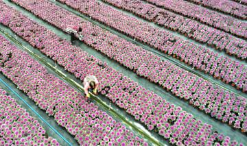 鉢植えの出荷がピーク迎える 江蘇省海安市
