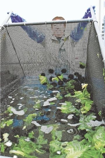 捨てられる野菜を餌にして育てた津軽海峡の養殖ウニ