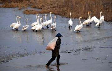 生態環境の改善で「白鳥の町」が活性化 河南省三門峡市