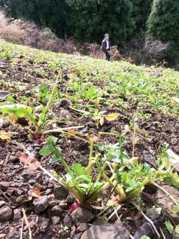 ニホンカモシカに食べられ、葉がほとんどなくなった「河内赤かぶら」=2018年12月22日、福井県福井市味見河内町