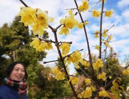 黄色いかれんな花が冬空に映えるソシンロウバイ=神戸市須磨区東須磨