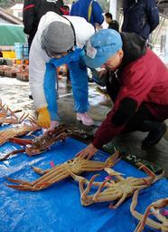 但馬の柴山港で11日早朝に開かれたマツバガニの競り。漁期の真っ最中とあって、仲買人の熱気を帯びた=兵庫県香美町香住区沖浦