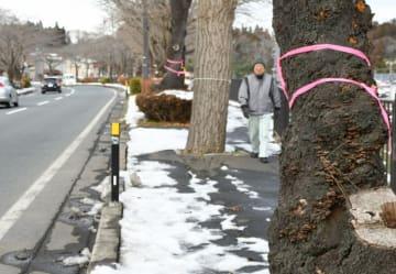 桜並木の一部が伐採される平泉町の県道三日町瀬原線。調査を終えた木に印が付けられている