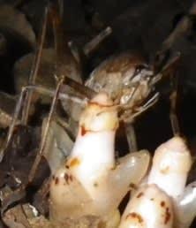 ヤッコソウの花粉を媒介するヤクハヤシウマ(カマドウマの仲間)。(画像:神戸大学発表資料より)