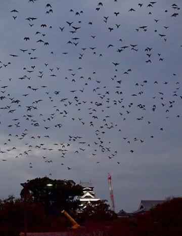 熊本城の周辺を飛ぶカラスの大群=11日午後5時40分ごろ、熊本市中央区(小野宏明)