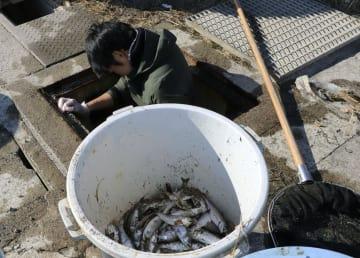 養殖施設から流出したサーモンの死骸=14日、鳥取県琴浦町