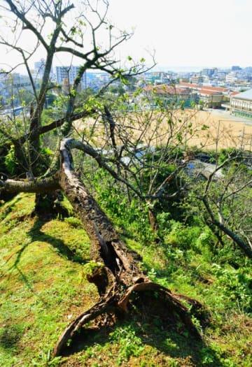 老木化で台風による倒木など衰退が進んでいる名護城公園の桜=名護市・同公園