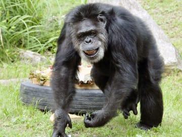 神戸市立王子動物園のチンパンジー「ジョニー」(同園提供)