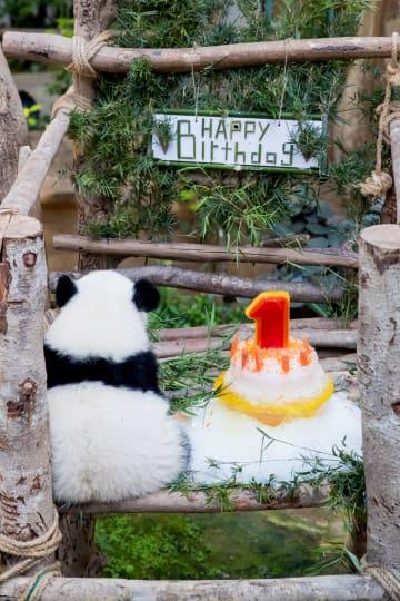 マレーシア生まれの赤ちゃんパンダ、1歳の誕生日を迎え