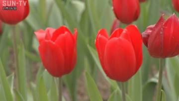 ひと足早い春の訪れ イングランドの丘チューリップ見頃